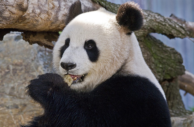 Pandas, Adelaide Zoo | © SATC by G. Sheer