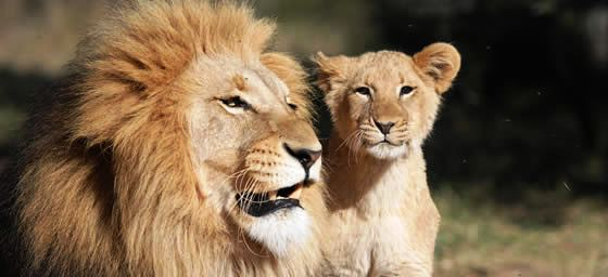 Africa: Lions
