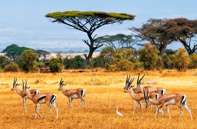 Gazelles wander across a plain in Amboseli, Kenya