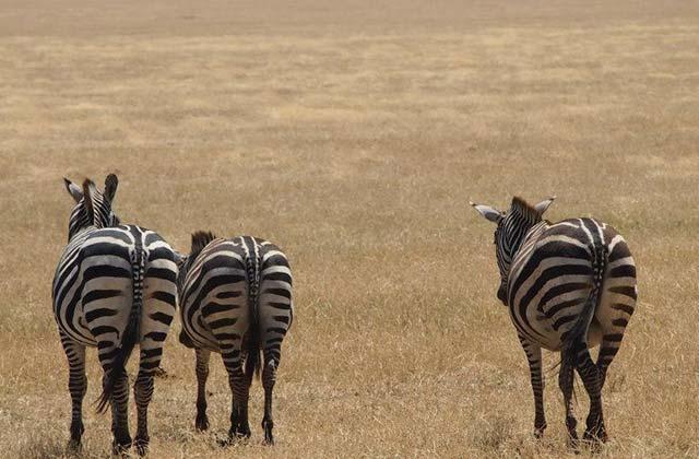Zebras, Ngorongoro Conservation Area, Tanzania | by Flight Centre's Rachael Stafford
