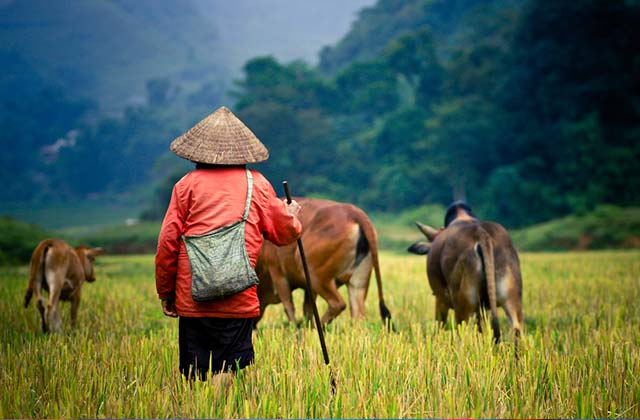 Cattle Grazing, Myanmar