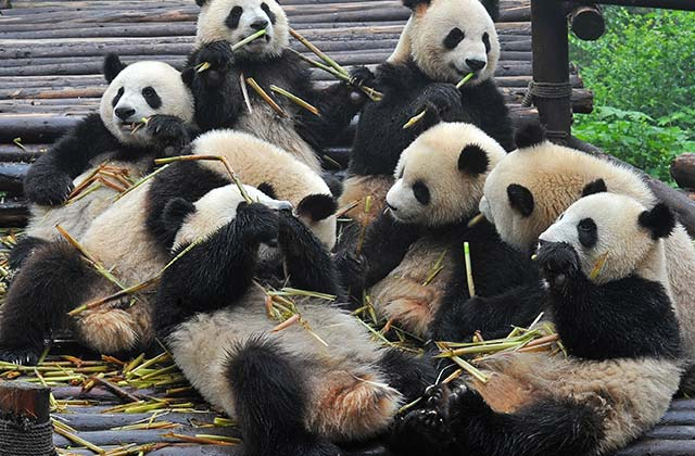 Pandas, China