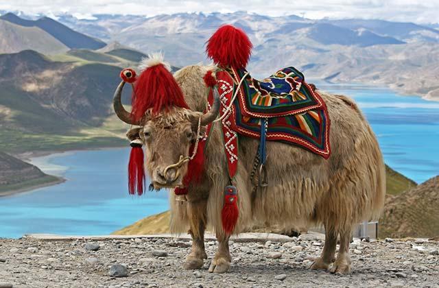White Yak, Tibet