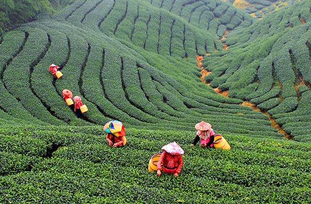 Bagua Tea Garden, Taiwan