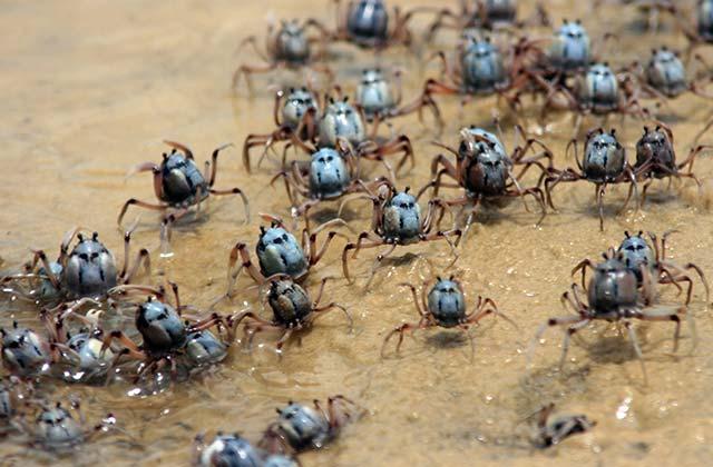 Mud Crabs, Fraser Island, Queensland