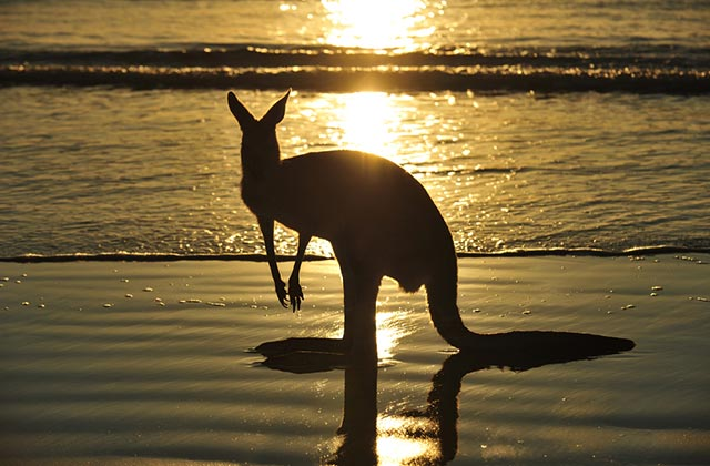 Kangaroo by the Beach, Queensland