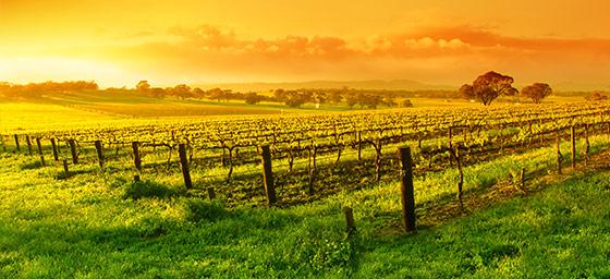 Barossa Valley: Vineyards