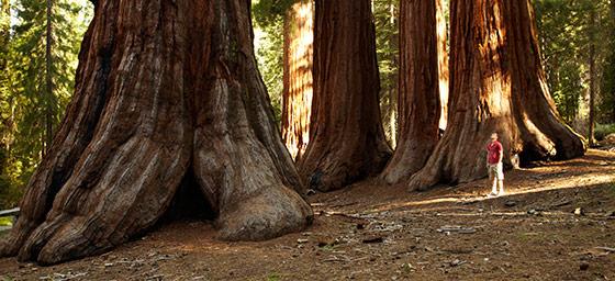 California: Redwood Trees