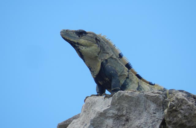 Iguana | by Flight Centre's Tiffany Apatu