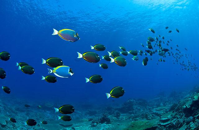 Black Triggerfish | by the Christmas Island Tourism Association © Mathieu Meur