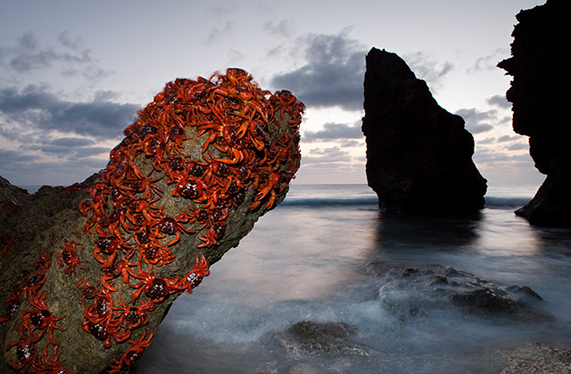 Red Crabs at Dawn | by the Christmas Island Tourism Association © Ingo Arndt