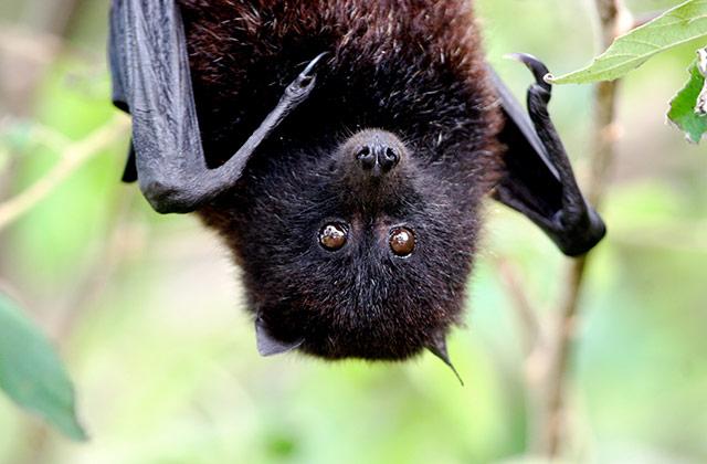 Flying Fox | by the Christmas Island Tourism Association © Inger Vandyke