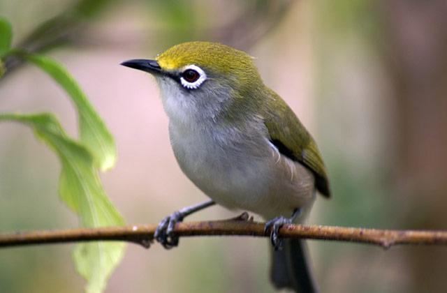 White-Eye Bird | by the Christmas Island Tourism Association © Philip Cash