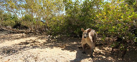 Daydream Island: Kangaroo