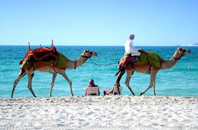 Camels on Jumeirah Beach