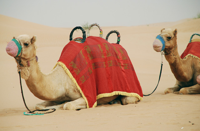 Camels | by Flight Centre's Maranda Hug
