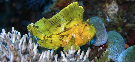 East Timor: Leaf Scorpion Fish