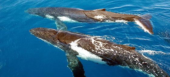Fraser Island: Humpback Whales