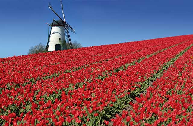 A Beautiful Tulip Field