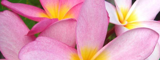 Hawaii frangipani