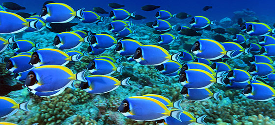 Maldives: Powder Blue Tang Fish