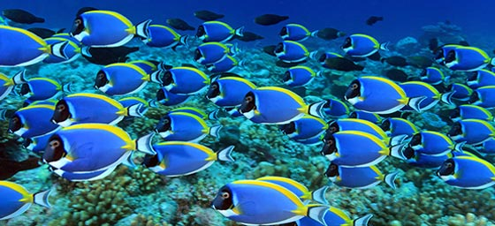 A school of tropical fish swiming along the Maldives coastline, which can be viewed with a cheap flight with Flight Centre.