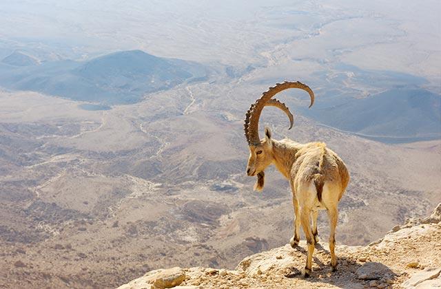 Mountain Goat, Makhtesh Ramon, Israel