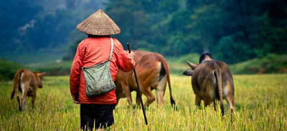 Myanmar: Shepherd