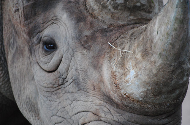 Rhinoceros, Western Plains Zoo, Dubbo | by Flight Centre's Katrina Imbruglia
