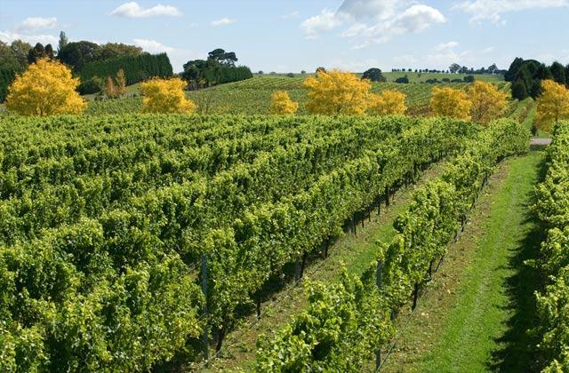 Vineyard, near Sutton Forest, Southern Highlands