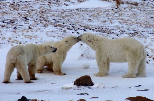 Polar Bears, Canada | by Flight Centre's Aiko Fordyce