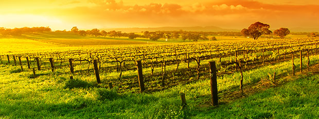 South Australian Vines at sunset