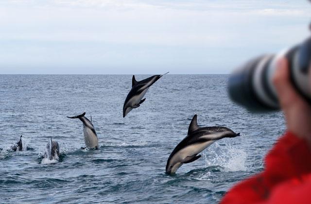 Dolphins, Dusky Sound, New Zealand