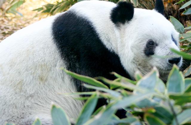 Giant Panda, Ueno Zoo | by Flight Centre's Tiffany Apatu