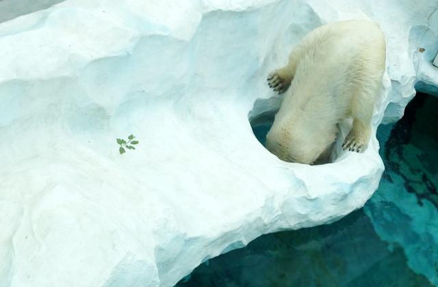 Polar Bear, Ueno Zoo | by Flight Centre's Tiffany Apatu