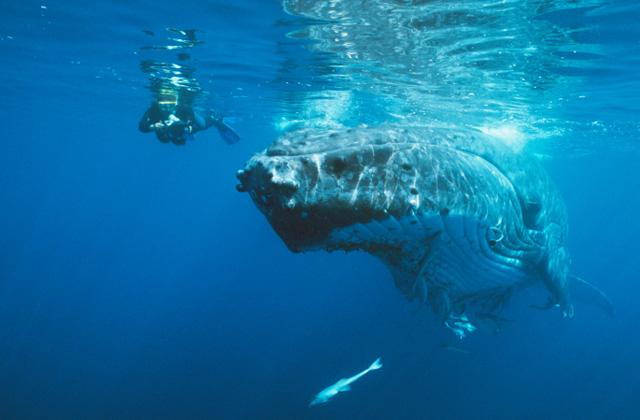 Snorkeler with a Humpback Whale, off Vava'u