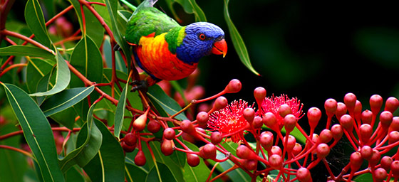 Tropical North Queensland: Rainbow Lorikeet