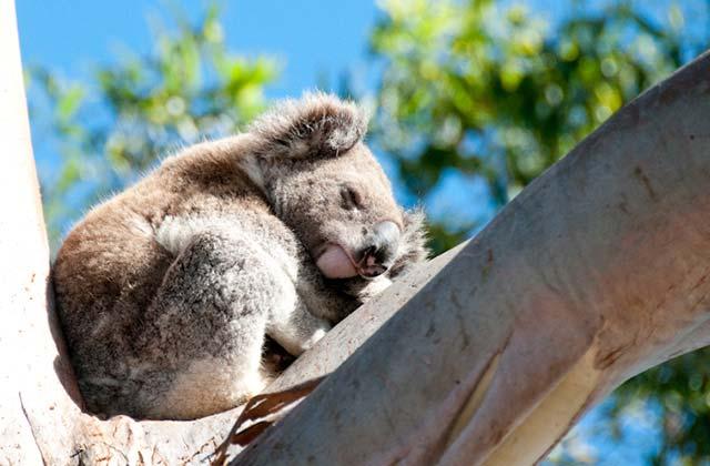 Koala Sleeping In A Tree | by Flight Centre's Ken Ng