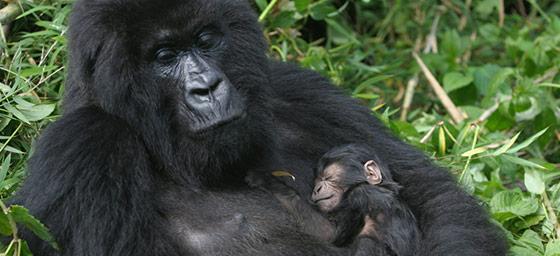 Africa: Gorillas