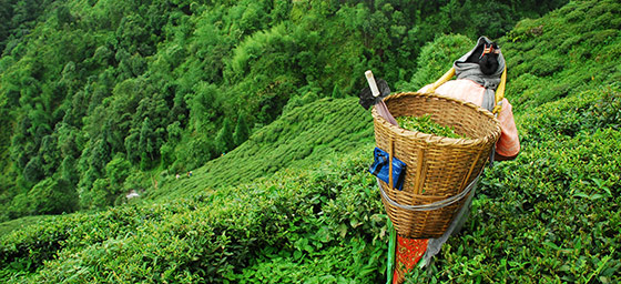 Asia: Tea Picking in India