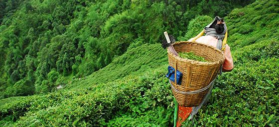 Asia: Tea Picking in India