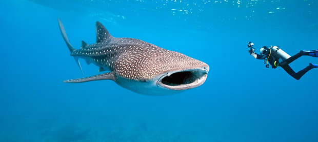 Swim with Whale Sharks – Ningaloo Reef, WA