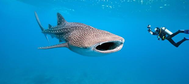 Swim with Whale Sharks – Ningaloo Reef, WA